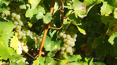 Bubbly Sauvignon Blanc Grapes Used By Vicarage Lane Wines In Blenheim Marlborough NZ