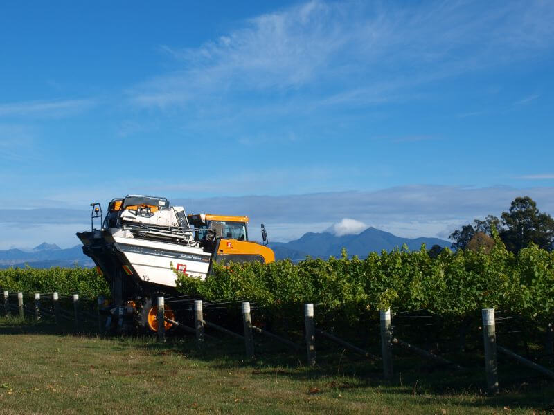 Harvest Time At Vicarage Lane Wines In Blenheim Marlborough NZ