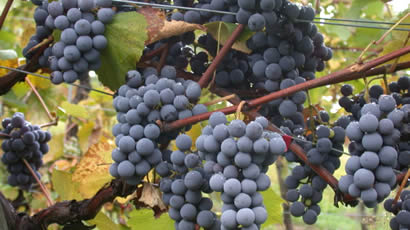 Pinot Noir Grapes Used By Vicarage Lane Wines In Blenheim Marlborough NZ