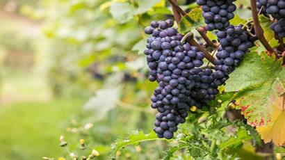 Pinot Noir Rose Grapes Used By Vicarage Lane Wines In Blenheim Marlborough NZ