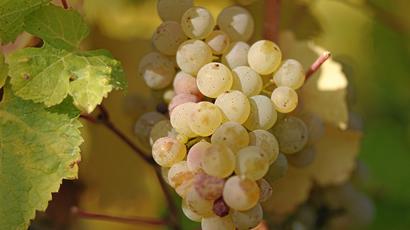 Riesling Grapes Used By Vicarage Lane Wines In Blenheim Marlborough NZ