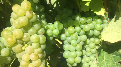 Sauvignon Blanc Grapes Used By Vicarage Lane Wines In Blenheim Marlborough NZ